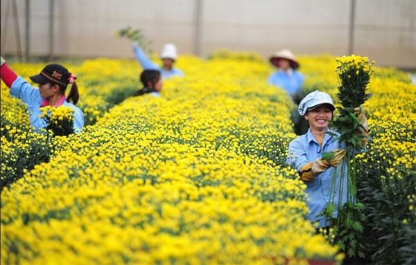 Hoa cúc cắt cành Đà Lạt lớn nhanh nhờ chiếu sáng đèn LED