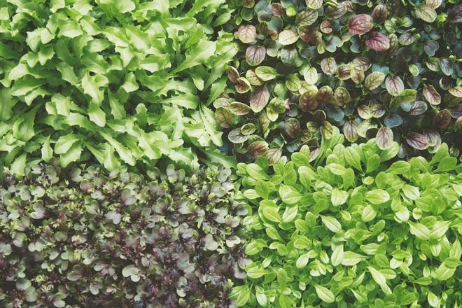 Cây được trồng trên mô hình này phát triển nhanh gấp 3 lần so với việc trồng ngoài vườn.