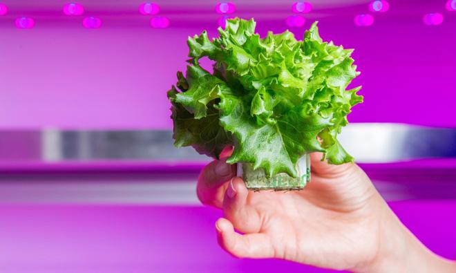 Người Hà Lan sử dụng đèn LED để trồng rau sạch và tốt cho sức khỏe